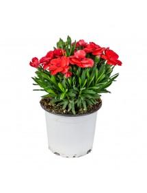 Clavellina de más Flor Variada