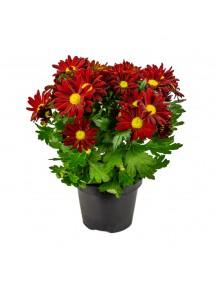 Chrysanthemum Variado