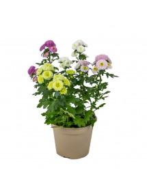 Chrysanthemum Pompón Variado