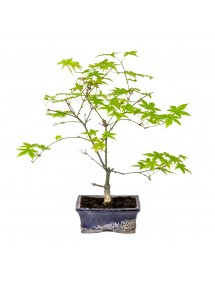 Acer Palmatum Deshojo Bonsai 7 años
