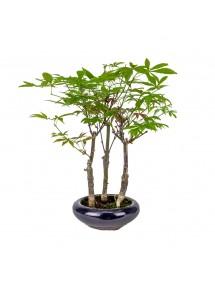 Bosque Acer Palmatum Atropurpureum Bonsai 8 años