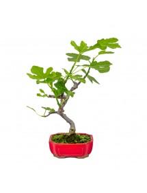 """Ficus carica """"Higuera"""" pequeña 8 años"""