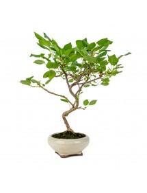 """Prunus Mahaleb """"Cerezo"""" Bonsai 8 años"""