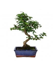 Carmona Microphylla Bonsai 14 años