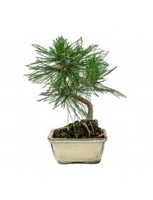 Pinus Thunbergii Bonsai 8 años