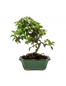 Cotoneaster sp. Bonsai 6 años