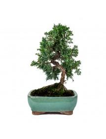 Juniperus Chinensis Bonsai 10 años