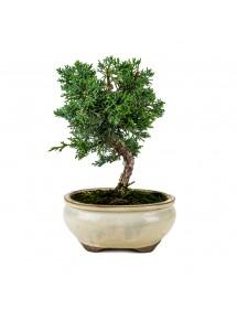Juniperus Chinensis Bonsai 9 años
