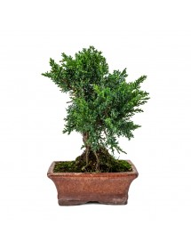 Juniperus Chinensis Bonsai 8 años
