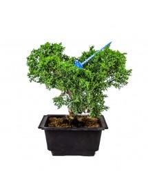Juniperus Chinensis Japonés Bonsai 13 años