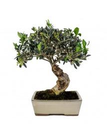 Olea Europaea Bonsai 10 años