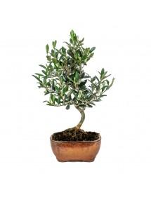 Olea Europaea Bonsai 7 años