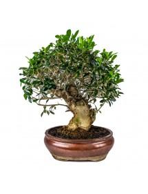 Olea Europaea Ejemplar Bonsai 30 años