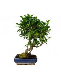 Ficus Retusa Bonsai 10 años