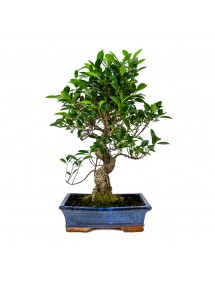 Ficus Retusa Bonsai 16 años