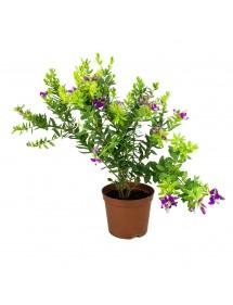 Polígala Myrtifolia