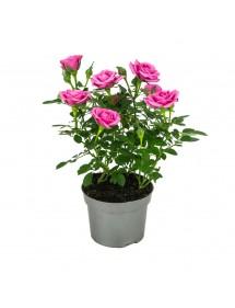 Rosal Mini rosa fuerte