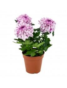 Chrysanthemum Alto Variado