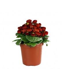 Calceolaria (Zapatitos de Venus)