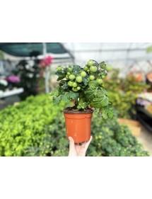 Planta Tomate Cherry