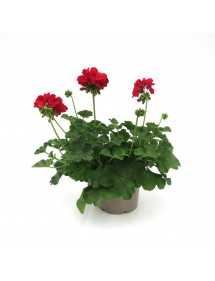 Pelargonios Mini