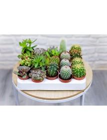 Bandeja Mixta Cactus y Crasas Variadas (20Uds)