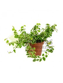 Ficus Repens pequeño