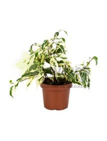 Ficus Hoja Variegada pequeño